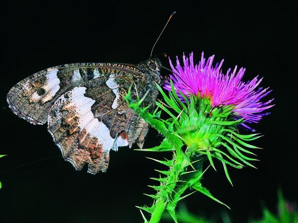 Οι πεταλούδες της Ελλάδας