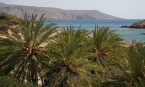 Ο μεγάλος κινδυνος για τους φοίνικες της Ελλάδας από τον κόκκινο ρυγχοφόρο