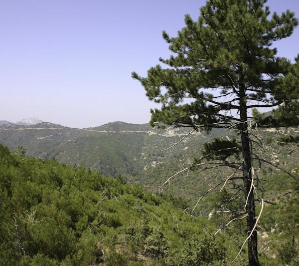 Η χρήση της ρητίνης, η ρητίνευση και η προστασία των δασών