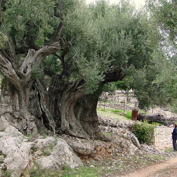 Άγιος Αμφιλόχιος Μακρής: Όποιος δεν αγαπάει τα δέντρα, δεν αγαπάει το Χριστό