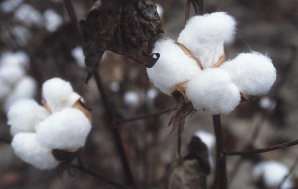 Η καλλιέργεια του βαμβακιού στην Ελλάδα