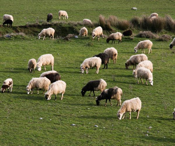 Κτηνοτροφικά φυτά: Οι κυριότεροι τύποι ζωοτροφών