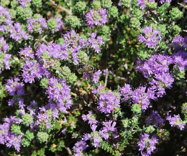 Αρωματικά Φυτά: το χρυσάφι της ελληνικής γης