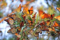 mesa_monarch