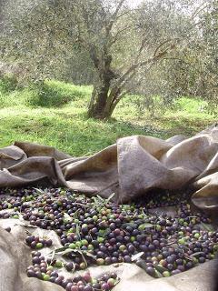 olives_mesa