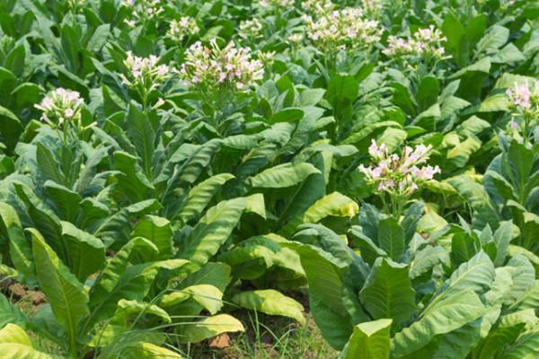 Ελληνική γεωργία και καπνός: οι αιτίες του μαρασμού