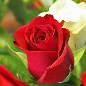Ένα και μοναδικό τριαντάφυλλο άνθισε την ημέρα της κοίμησης του μακαριστού Μητροπολίτη Σύμης