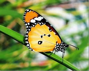 Η Ελληνίδα εξαδέλφη της πεταλούδας Μονάρχης!